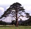 Mt. Songnisan Chong-ipum Red Pine